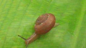 Snail on leaf stock video
