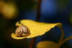 Snail on a leaf. Close-up of snail on yellow leaf Royalty Free Stock Photos