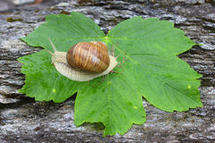 Snail on the leaf Stock Photography
