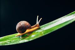 Snail on the leaf Royalty Free Stock Image