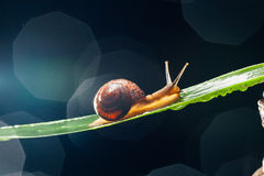 Snail on the leaf against dark background Stock Image