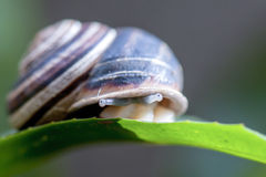 Snail on the leaf Stock Images