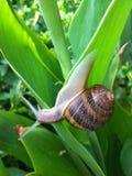 Snail On Leaf Stock Photography