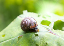 Snail on a leaf. Close up in a sunny day Stock Photo