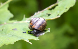 Snail on a leaf. Close up in a sunny day Stock Images