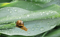 Snail on leaf closeup Royalty Free Stock Image
