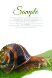 Snail on leaf with copy-space Stock Photos