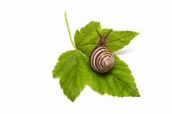 Snail on leaf currant. Helix pomatia Stock Photography