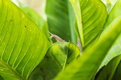 Snail on the leaf. Damage to the garden and create dirt. Royalty Free Stock Images