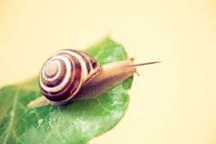 Snail on a leaf exploring. Close up of a curious,  snail exploring the leaf Stock Image