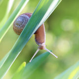 Snail on leaf Royalty Free Stock Photos