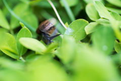 Snail on leaf in garden green grass . Royalty Free Stock Image
