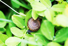 Snail on leaf in garden green grass . Royalty Free Stock Images