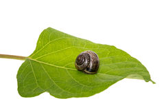 Snail on a leaf Stock Photography