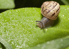 Snail on Leaf. A snail on a leaf in the morning with dew on its shell stock photos
