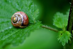 Snail on a leaf. At an rainy day Royalty Free Stock Images
