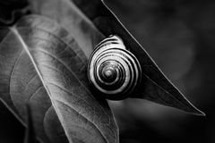 Snail on leaf roll off hip. Snail on a leaf in summertime Stock Image