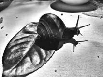 Snail and leaf stock photography