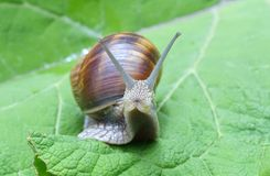 Snail on a leaf Royalty Free Stock Photo