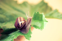 Snail on a leaf standing. Close up of a curious, hungry snail crawling on a leaf, facing to the right Stock Photos
