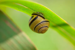 Snail on a leaf Stock Photo
