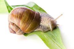 Snail on a leaf Stock Images