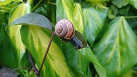 Snail on a leaf Stock Image