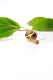 Snail and leafs Royalty Free Stock Photography