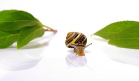 Snail and leafs Royalty Free Stock Images