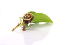 Snail and leafs Royalty Free Stock Photos