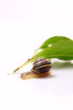 Snail and leafs Stock Image