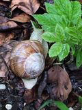 Snail on Leafy Background. Nature photograph of a snail with a leafy backdrop royalty free stock images