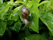 Snail in a leave stock photos