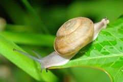 Snail on leaves Stock Photography