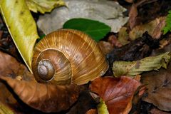 Snail in the leaves Royalty Free Stock Photography