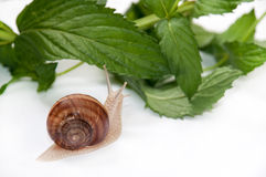 Snail on the leaves of mint Royalty Free Stock Image