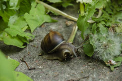 Snail in leaves Stock Photo