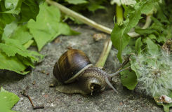 Snail in leaves Stock Photos
