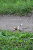 Snail leaving a trail Royalty Free Stock Photography