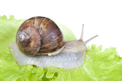 Snail on lettuce leaf Royalty Free Stock Photos