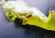 Snail on lettuce leaf Royalty Free Stock Photos