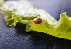 Snail on lettuce leaf Stock Photography