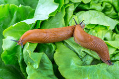 Snail with lettuce leaf. A slug in the garden eating a lettuce leaf. snail invasion in the garden Royalty Free Stock Photography