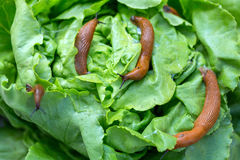 Snail with lettuce leaf. A slug in the garden eating a lettuce leaf. snail invasion in the garden Stock Image