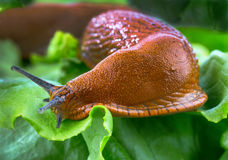 Snail with lettuce leaf Royalty Free Stock Image