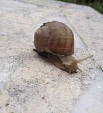 Snail. A little snail try to cross the garden Stock Images