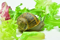 Snail. A little snail very curious Royalty Free Stock Photo