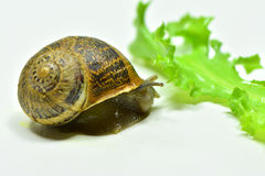 Snail. A little snail very curious Royalty Free Stock Photography