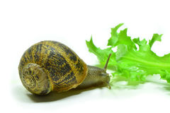 Snail. A little snail very curious Royalty Free Stock Photos