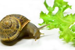 Snail. A little snail very curious Stock Photo